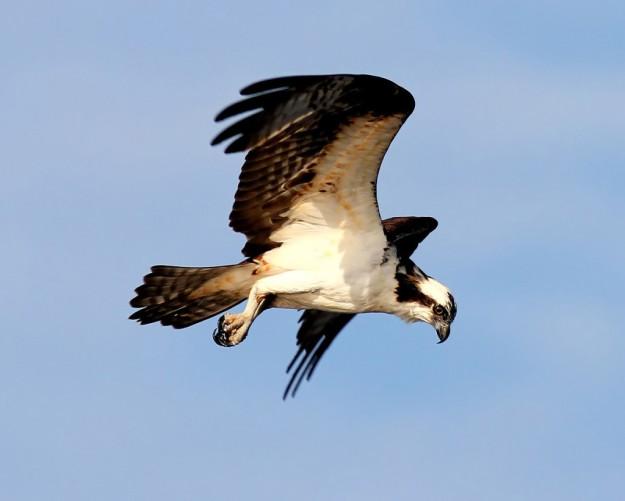 osprey-hunting