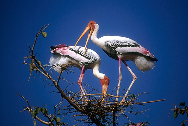 painted_stork_pair_at_nest