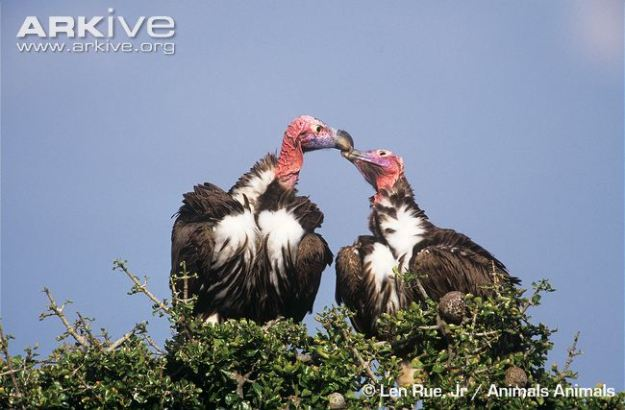 Pair-of-lappet-faced-vultures-