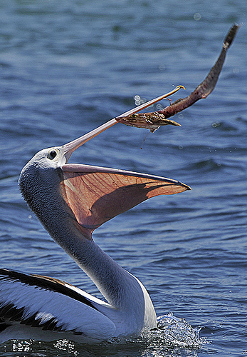 pelican with prey