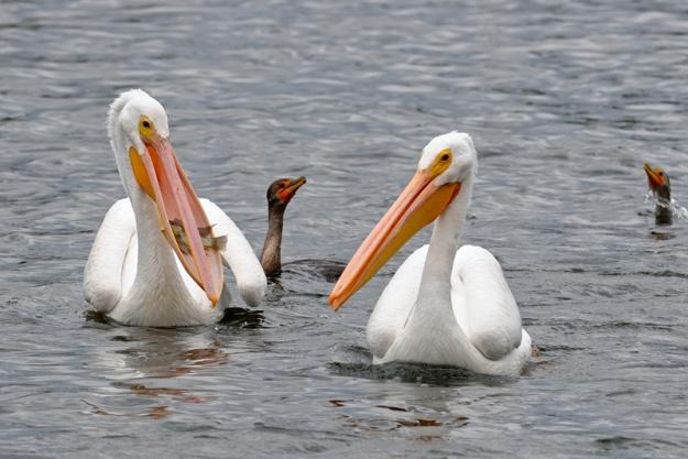 pelicans-fish