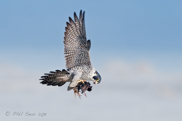Peregrine Falcon flying with prey bird image