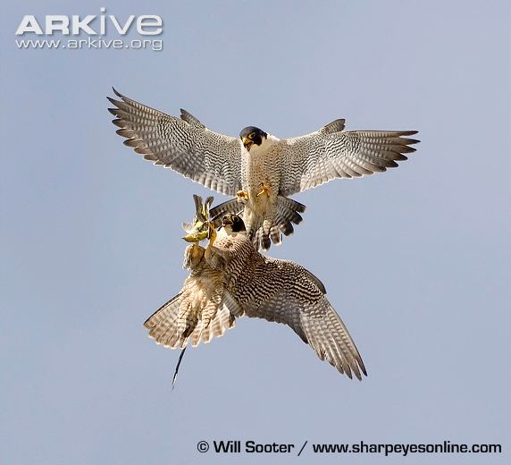 Peregrine-falcon-ssp-anatum-food-transfer-tiercel-passing-to-falcon