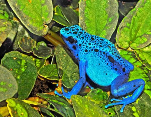 poison-arrow-frog-l-6