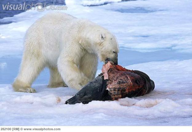 polar_bear_ursus_maritimus_adult_eating_seal_prey_282100