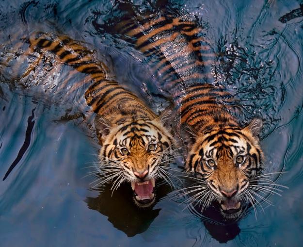Пара тигров - Tiger Couple Photo by Robert Cinega (goo.gl/5MQitb)