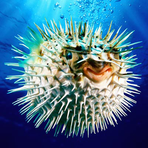 Spiny Pufferfish (Diodontidae sp.) close-up (digital enhancement