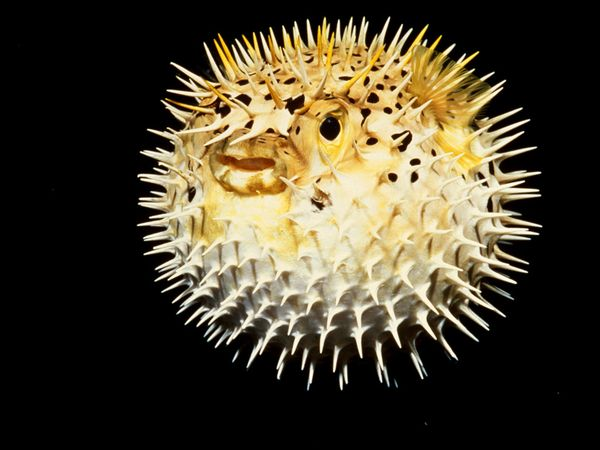 pufferfish_673_600x450