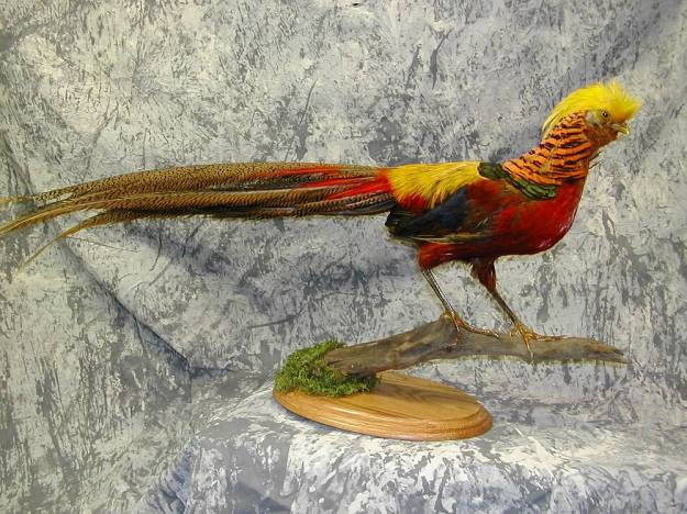 _Red_Golden_Pheasant