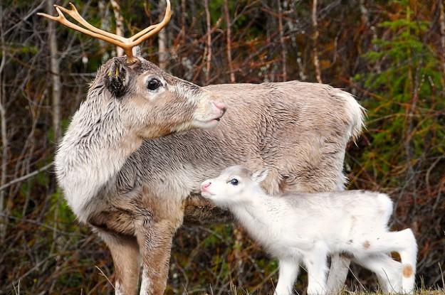 reindeer doe and calf
