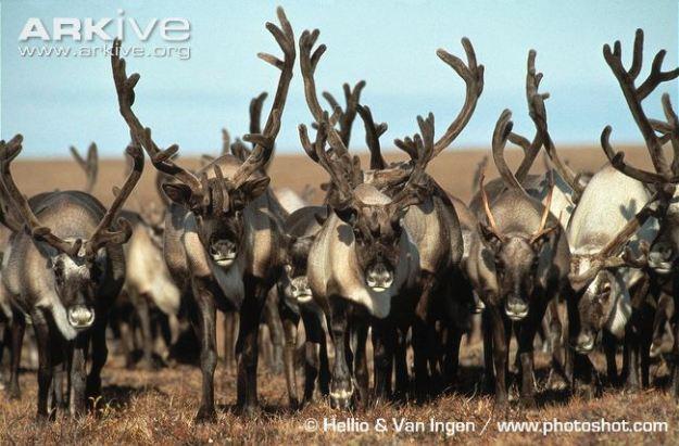 Reindeer-herd