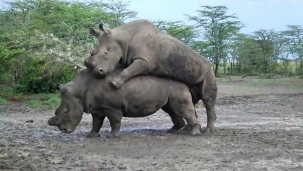 rhino-mating