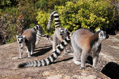 ring-tailed-lemur-lemur-catta-isalo-national-park-madagascar_13ad