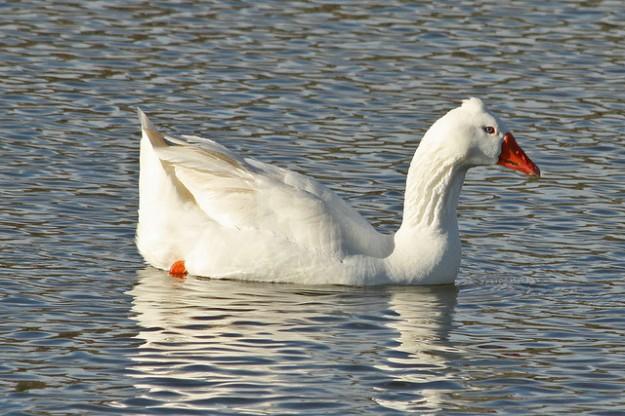 roman tuffted goose