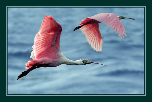 roseate spoonbills_in_flight