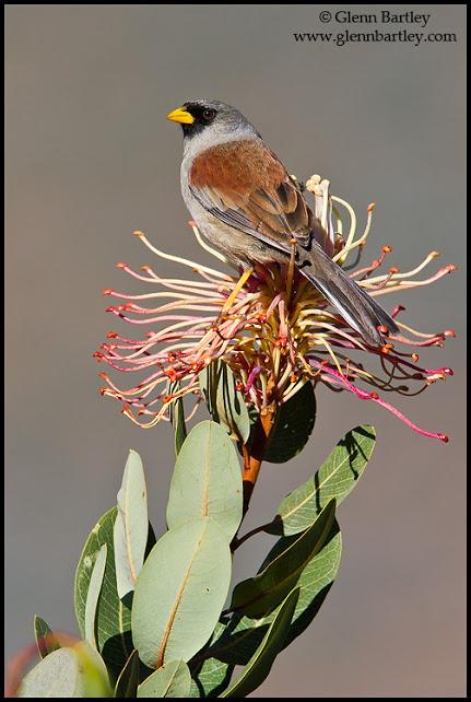 Rufous-backed Inca-Finch (Incaspiza personata) perched on a branch in Peru.