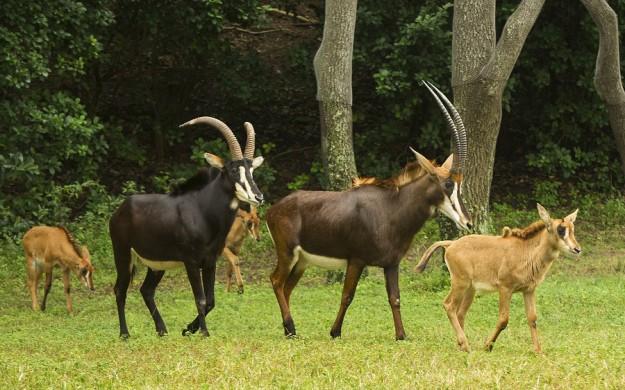 sable-antelope-calves
