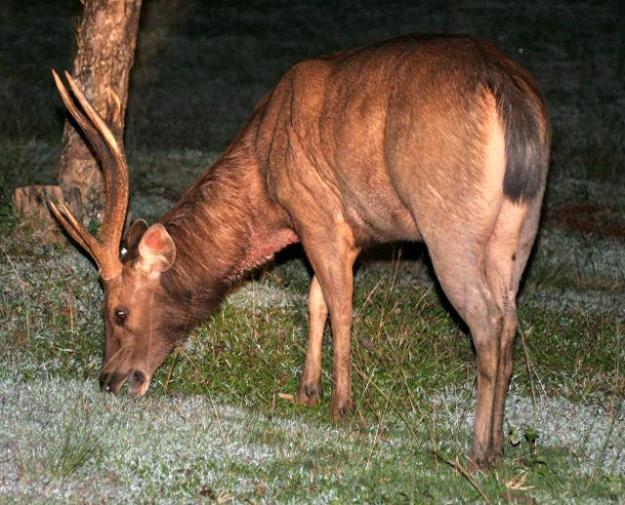 sambar deer thailand