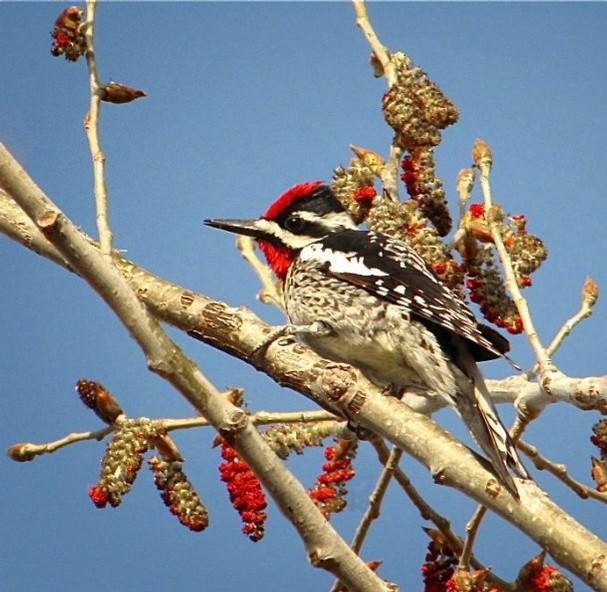 sapsucker yellow bellied woodpecker