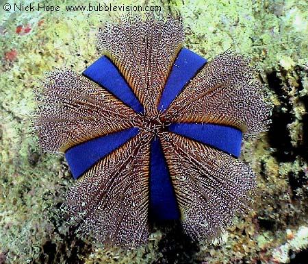 Blue tuxedo sea urchin Mespilia globulus at Phi Phi Island