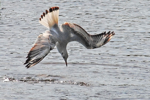 seagull diving
