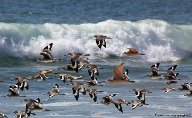 shorebirds-03-ojai