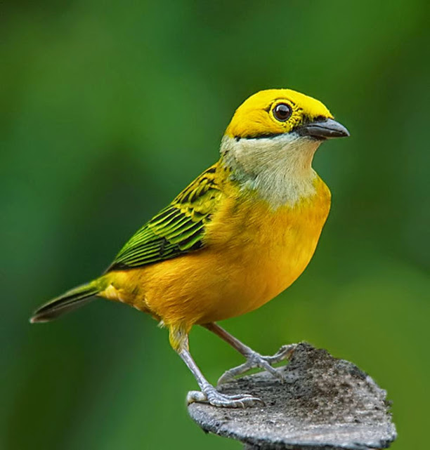 silver-throated_tanager_331