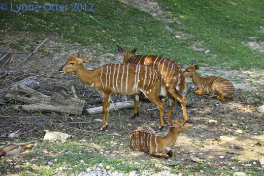 sitatunga antelope with calves