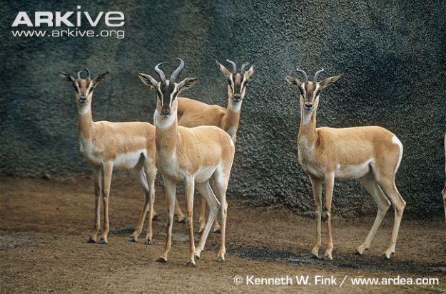 Soemmerrings-gazelles