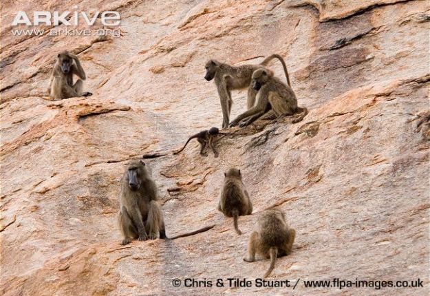 Southern-chacma-baboon-troop-on-cliff