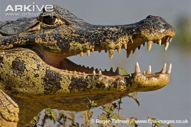 spectacled-caiman