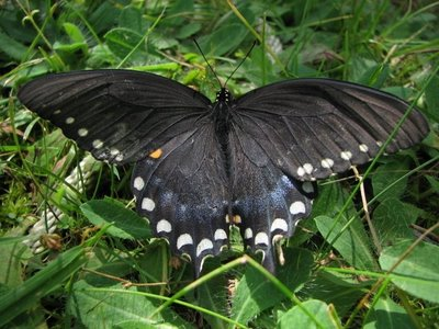 SpicebushSwallowtail_butterfly_wild_7003