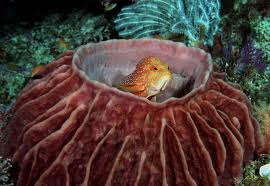 sponge giant barrel