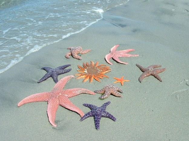 starfish-lg