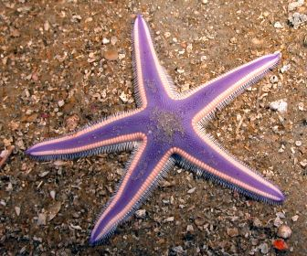 starfish_desktop_2100x1838_wallpaper-446822