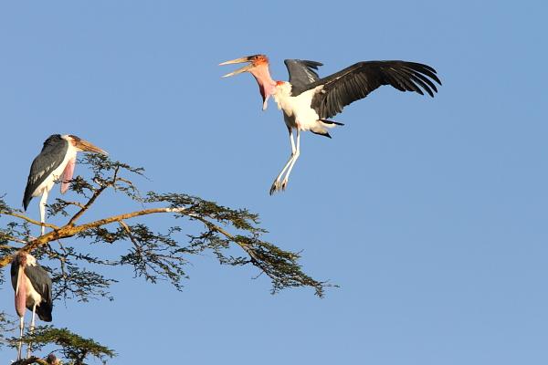 Stork-Marabou-Serengeti-Tanzania-AR-28