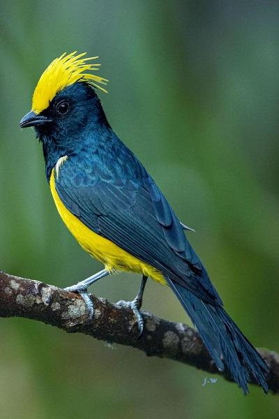 Sultan Tit bird