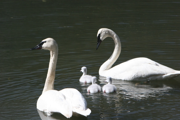 swans with swanlings