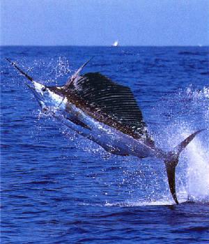 swordfish-lg_jpg_w300h350