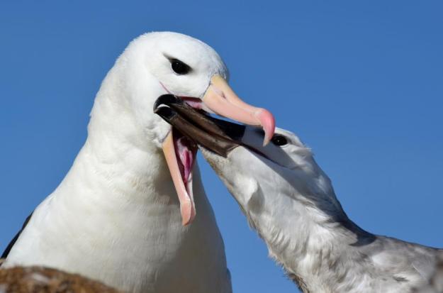 Thalassarche_melanophris_Black-browed_Albatross-4