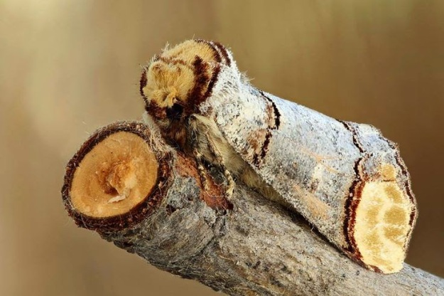 The Buff-tip Moth, found throughout Europe, has evolved to look like a stump of a twig to hide from predators.