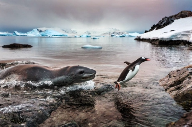 The Luckiest Penguin, Gentoo penguin and leopard seal. (Photo Paul Souders)