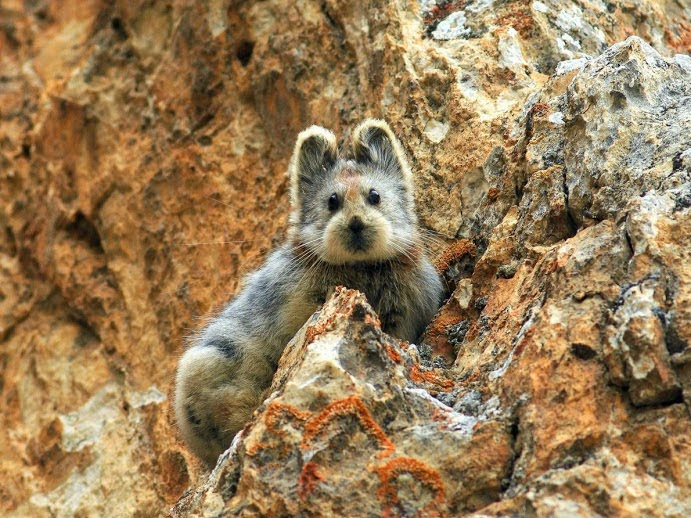 The rare Ili pika was spotted in the mountains of northwestern China