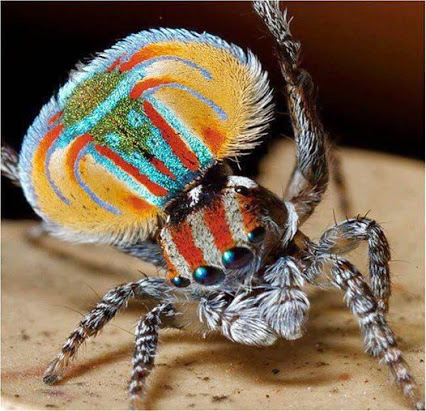 This is a peacock spider.