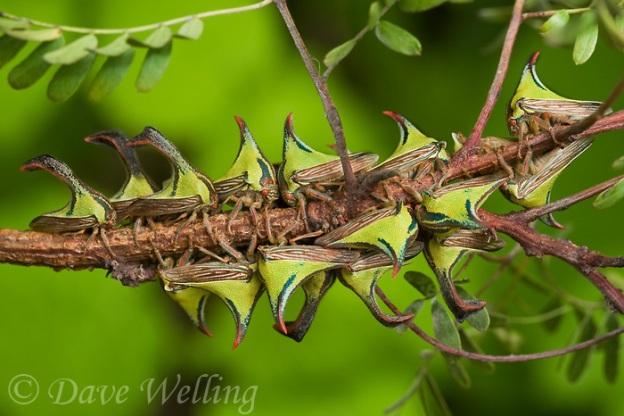 thorn-treehoppers-umbonia-crassicornis-wild-swarm-south-texas