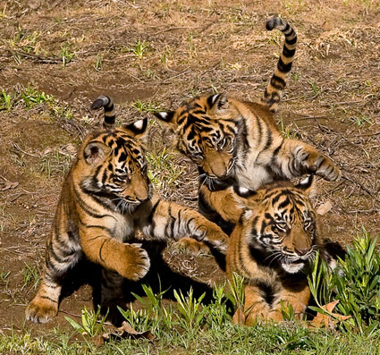 tiger-cubs-picture1