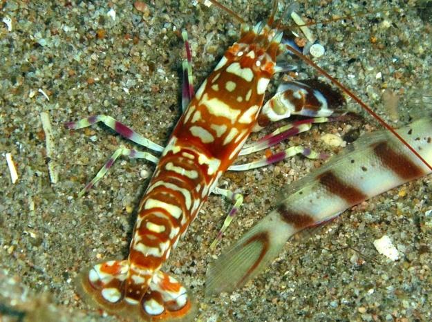 tiger snapping shrimp