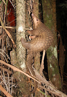 Tree_Pangolin_animal_pictures
