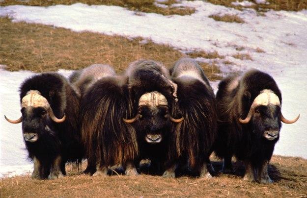 tundra-animals-musk-ox-muskox-oxen-circle