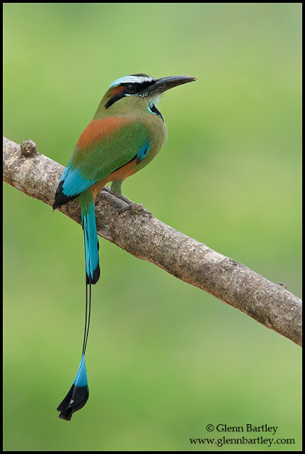 Turquoise-browed Motmot - 03